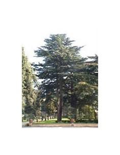 MSA CEDRUS LIBANI 50 ML